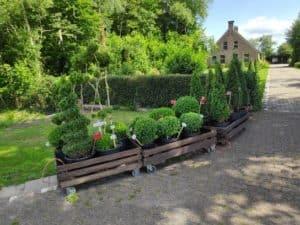 Buxusplanten Wapserveen
