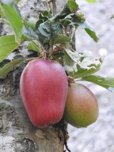 Tulp appel Vers uit de Tuin van Karin Bellaart uit Geeuwenbrug