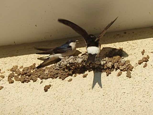 zwaluwen vogelwacht uffelte