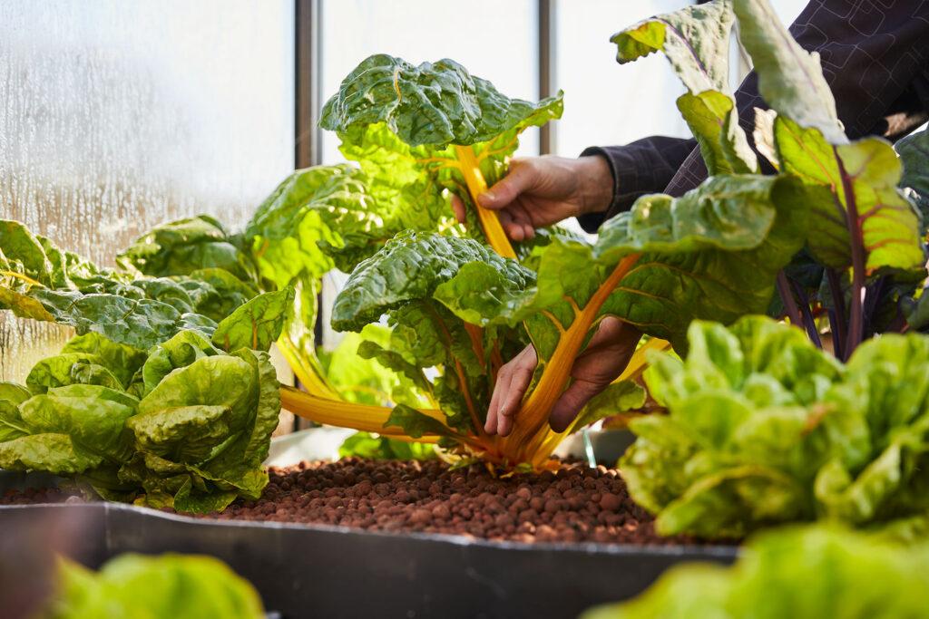 vergeten groente snijbiet