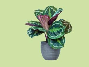 Luchtzuiverende-kamerplant-Calathea